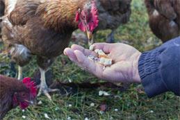 L'aviculture en France, le présent et l'avenir
