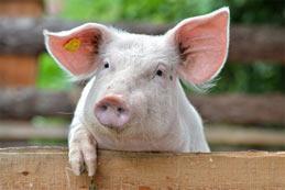 Élevage de cochon, les principales normes