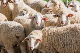 La rentabilité actuelle du secteur ovin en France