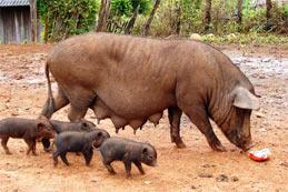 Les échanges de porc dans le monde