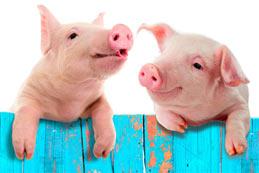 Le porc et sa domestication